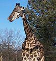 A Masai Giraffe pic.jpg