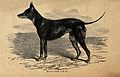A black and tan terrier. Wood engraving. Wellcome V0021863.jpg