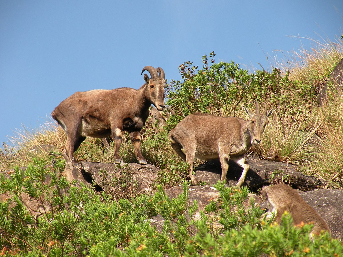 N Ungulate Nilgiri tahr - Wikiped...
