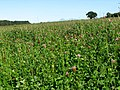 A crop of red clover adjacent to Mill Lane near The Carr - geograph.org.uk - 548507.jpg