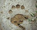 A fresh black bear track in the mud leaves an impression. (6803486491).jpg
