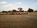 A picture of flock of Sheep in Kertee.jpg