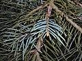 Abies concolor Violacea 2016-04-19 7750.JPG