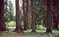 Abies grandis oldtrees.jpg