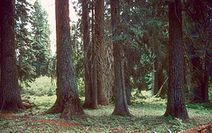 Abies grandis - Old-growth copse in inland Oregon