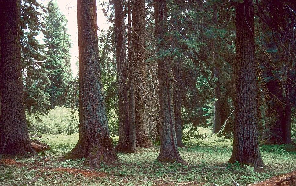 Abies grandis oldtrees