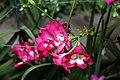 Abutilon Kristens Pink 4zz.jpg