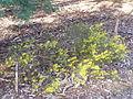 Acacia enterocarpa 01.jpg