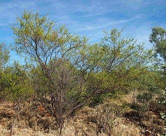 Acacia lysiphloia - Image: Acacia lysiphloia habit