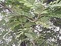 Acacia pennata-1-sanyasi malai-yercaud-salem-India.JPG