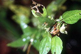 Acalypha virginica branch.jpg