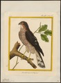 Accipiter nisus - 1700-1880 - Print - Iconographia Zoologica - Special Collections University of Amsterdam - UBA01 IZ18300079.tif