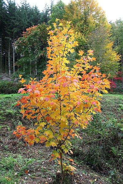 A sugar maple sapling in fall.