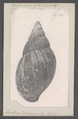 Achatina dohrniana - - Print - Iconographia Zoologica - Special Collections University of Amsterdam - UBAINV0274 088 12 0013.tif