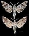 Acosmeryx socrates MHNT CUT 2010 0 171 eastern visayas Philippines male.jpg