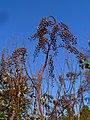 Actaea racemosa 004.JPG