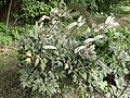Actaea simplex kz02.jpg
