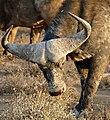 African Buffalo (Syncerus caffer) in sunset light ... (32185824734).jpg