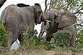 African Elephant (Loxodonta africana) bulls fighting ... (32325300426).jpg