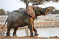 African Elephant Acrobatics Left 2019-07-25.jpg