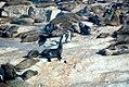 African Penguins (5955565002).jpg