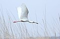 African Spoonbill, Platalea alba at Marievale Nature Reserve, Gauteng, South Africa (21573286176).jpg