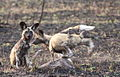 African wild dog, Lycaon pictus (young) at uMkhuze Game Reserve, kwaZulu-Natal, South Africa (15429011635).jpg