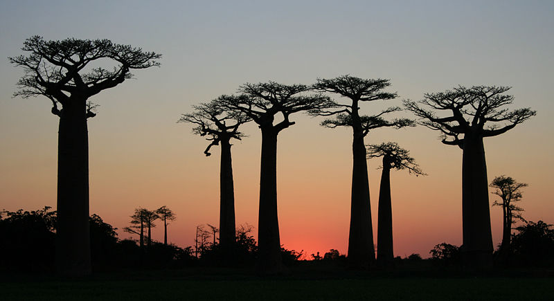 File:After Sunset on Avenue of the Baobabs.jpg