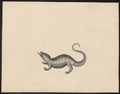 Agama spec. - 1700-1880 - Print - Iconographia Zoologica - Special Collections University of Amsterdam - UBA01 IZ12700101.tif