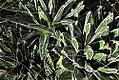 Agave victoriae-reginae 0zz.jpg