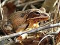 Agile frog (Rana dalmatina) Female closeup.jpg