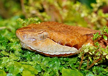 English: Copperhead (Agkistrodon contortrix) i...