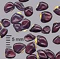 Akebia quinata seeds1.jpg