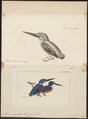 Alcedo meningting - 1700-1880 - Print - Iconographia Zoologica - Special Collections University of Amsterdam - UBA01 IZ16800201.tif