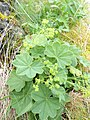 Alchemilla monticola plant (06).jpg