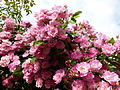 Allée de roses Jardin des Plantes 3.JPG
