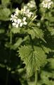 Alliaria petiolata.png