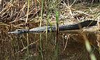 Alligator mississipiensis FL.JPG