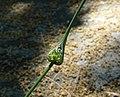 Allium carinatum inflorescence (08).jpg
