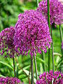 Allium sp. 04.JPG