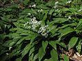 Allium ursinum L.jpg