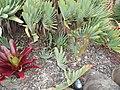 Aloe plicatilis (L.) Mill. (AM AK309110-1).jpg