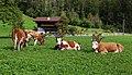 Alpabzug in Stechelberg 1.jpg