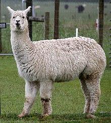 Alpaca (31562329701).jpg