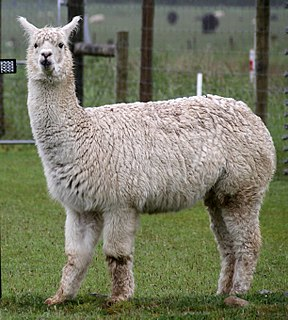 Alpaca Domesticated species of South American camelid