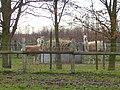 Alpacas and llama - geograph.org.uk - 351018.jpg