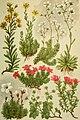 Alpen-Flora für Touristen und Pflanzenfreunde (1902) (18110413141).jpg