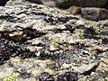 Alpine lichen on rock.jpg