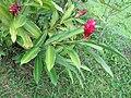 Alpinia purpurata - Red Ginger from Peravoor (6).jpg