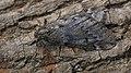 Alsophila aescularia ♂ - March moth (male) - Пяденица пушистая (самец) (33678193078).jpg